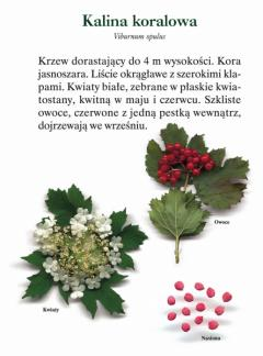 male_tabl_kalina_koralowa_mala_20070515022658.jpg